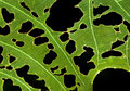 Leaf With Holes Royalty Free Stock Image - 11744816