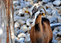 Wild Goat (Kri-Kri) Royalty Free Stock Images - 11751389