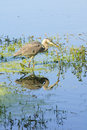 Great Blue Heron Stalking Stock Images - 11771864