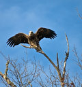 Juvenile Bald Eagle Ready To Fly Stock Images - 11783764