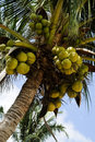 Coconuts Royalty Free Stock Image - 11789006
