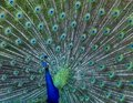 Colourful Male Peacock Displaying Feathers Royalty Free Stock Photo - 117972815