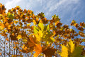 Fall Oak Leaves Royalty Free Stock Images - 11861509