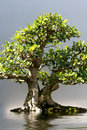Bonsai Stock Photo - 11884960