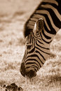 Zebra Grazing Stock Photography - 1191512