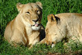 Lazy Lions Stock Image - 1196981