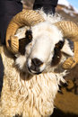 Sheep With Horns Royalty Free Stock Image - 11904896