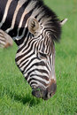 Zebra Feeding Stock Photography - 11915892