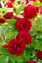 Red Rose Bush Royalty Free Stock Photography - 11941637
