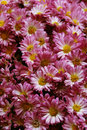 Pink Chrysanthemum Stock Photos - 11948563