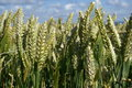 Wheat Field Royalty Free Stock Images - 11955259