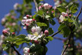 Apple Blossom Royalty Free Stock Photography - 11967747