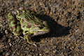 Leopard Frog Sitting Royalty Free Stock Images - 11975509