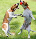Two Dogs Playing Royalty Free Stock Photo - 1206785
