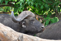 Buffalo In Kruger National Park,South Africa Stock Photos - 12041203
