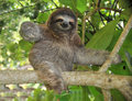 Playful Three Toe Sloth Sitting In Tree,costa Rica Royalty Free Stock Images - 12058189