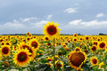 Field Of Sunflowers Royalty Free Stock Photo - 12065945