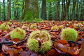 Chestnuts Lying On The Ground In Autumn Stock Photography - 12077182