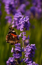 Red Admiral Butterfly On Lavender Close Up Royalty Free Stock Photography - 12103307