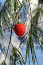 Fancy Red Strawberry Xmas Ornament In A Pine Tree Stock Photos - 12114323