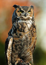 Great Horned Owl Stock Photo - 12124650