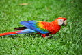 Parrot: Scarlet Macaw Royalty Free Stock Photography - 12138037
