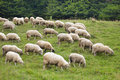 Pack Of Sheeps On The Grass Stock Photography - 12139682