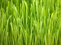 Young Spring Grass Royalty Free Stock Image - 12159406
