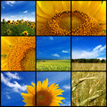 Sunflower Field Royalty Free Stock Photos - 12160338