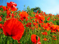 Red Poppies Royalty Free Stock Photography - 12207477