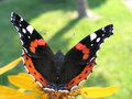 Red Admiral Butterfly Royalty Free Stock Photos - 12224148