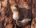 Grey Squirrel Clinging To A Tree Royalty Free Stock Photo - 12246025
