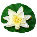 White Water Lily Stock Photo - 12249750
