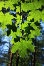 Maple Leaves Royalty Free Stock Image - 12257276