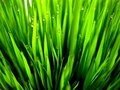 Green Grass Royalty Free Stock Photo - 12295565