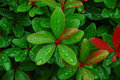 Water Droplets On Fresh Leaves Royalty Free Stock Images - 1232709