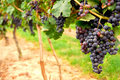 Red Grapes Royalty Free Stock Photos - 1238408