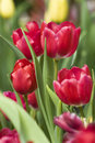 Red Tulip Stock Image - 12309721