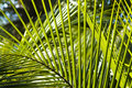 Palm Leafs Background Royalty Free Stock Image - 12313166