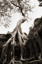 Tree Grown Over Ta Prohm Temple Walls, V2 Stock Photos - 12324173