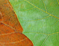 Two Colored Leaves Texture Royalty Free Stock Photography - 12330947