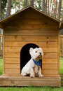 West Highland White Terrier In The Hut Royalty Free Stock Images - 12362119