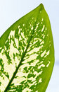 Leaf Fragment Of Window Plant Stock Images - 12404454
