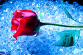 Rose On Ice Royalty Free Stock Photography - 12407237
