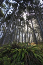 Fern Under Tall Trees Misty Stock Photography - 12423712