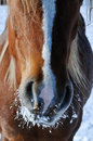 Horse Snout In The Winter Royalty Free Stock Images - 12427279