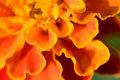 French Marigold Royalty Free Stock Images - 12440229