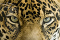Close Up Eyes Jaguar Big Cat, Costa Rica Stock Images - 12441674