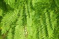 Acacia Leaves Background Royalty Free Stock Images - 12445749