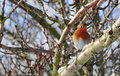 Robin Redbreast Royalty Free Stock Images - 12449799